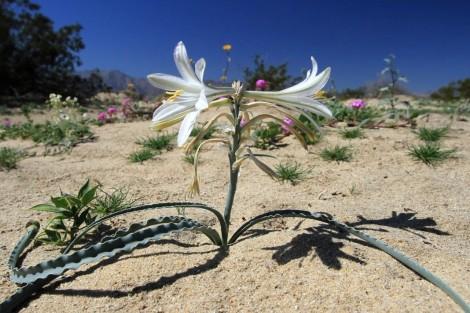 Пустыня Анза Боррего — Цветущее чудо
